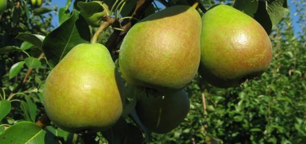 Груша отрадненская: описание сорта, фото плодов, характеристики и особенности выращивания selo.guru — интернет портал о сельском хозяйстве