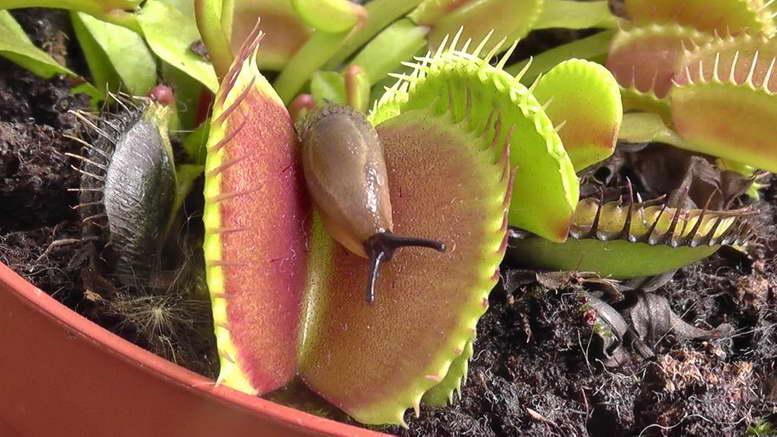Растение- хищник: дионея, венерина мухоловка. особенности ухода в домашних условиях