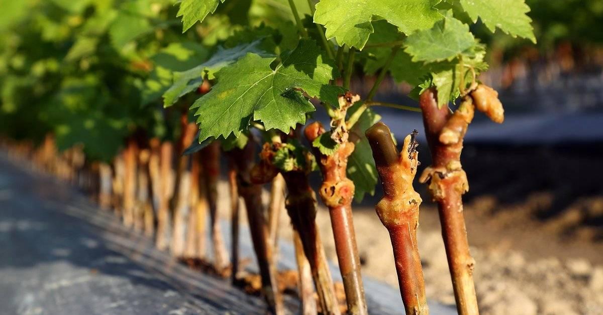 Размножение винограда черенками в домашних условиях: осенью, зимой или летом