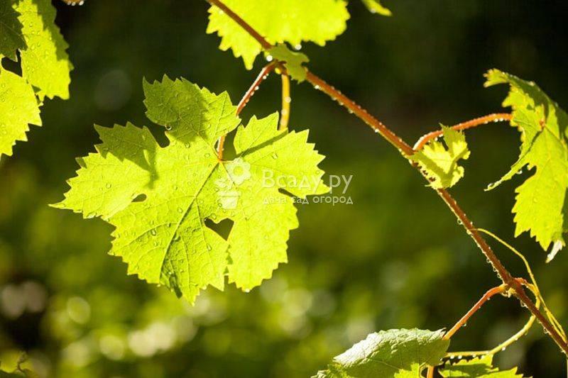 Полезные свойства листа винограда