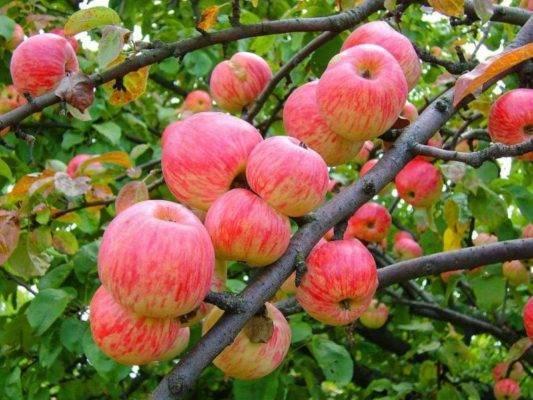 Яблоня мельба описание фото отзывы + яблоня мельба как сажать