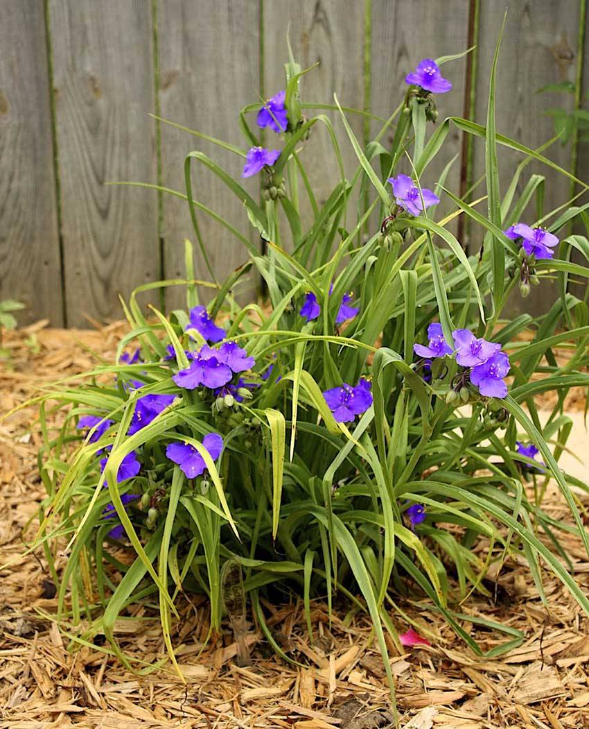 Традесканция: уход в домашних условиях, виды и сорта цветов с фото, размножение, посадка, болезни + видео