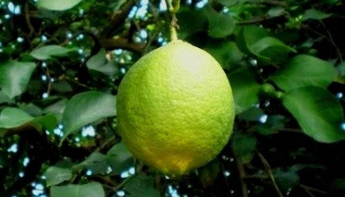 Лимон: описание, уход, выращивание из косточки в домашних условиях, рецепты витаминного сока и лимонада (фото & видео) +отзывы