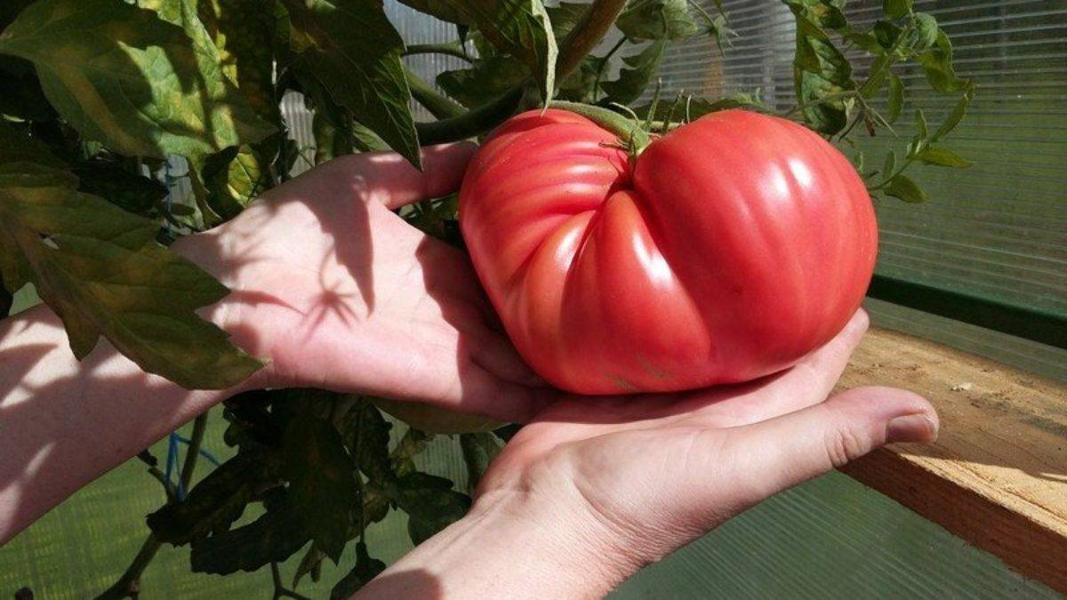 """Томат """"японский краб"""": описание сорта, характеристики и фото помидоров русский фермер"""