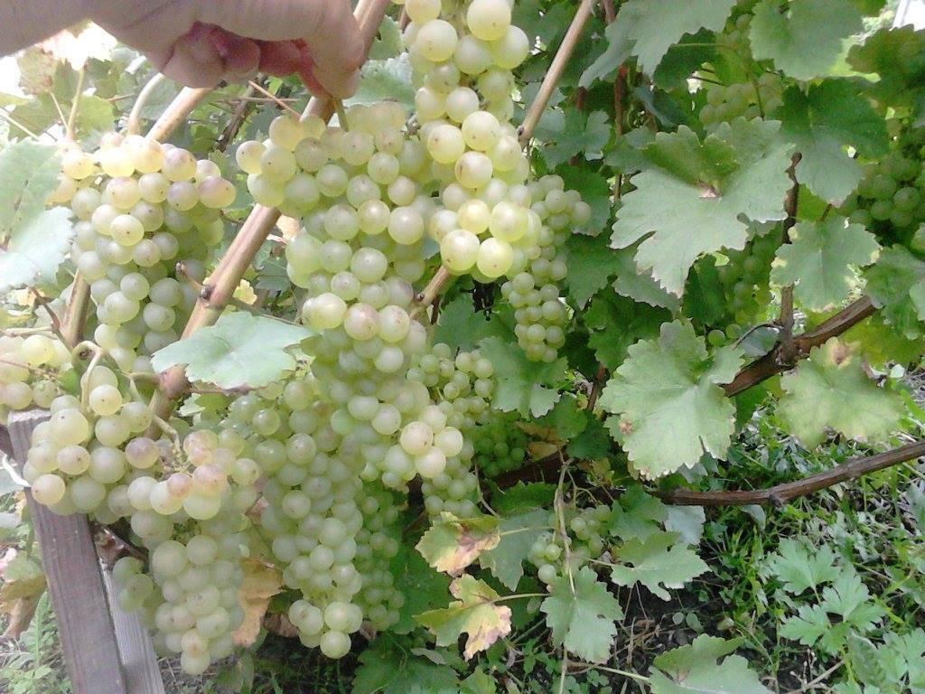 Шардоне - технический сорт винограда