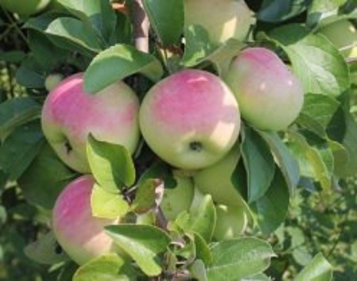 Описание сорта яблони имрус: фото яблок, важные характеристики, урожайность с дерева