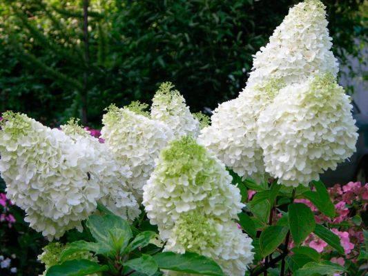 Как посадить гортензию в открытый грунт для пышного цветения в саду