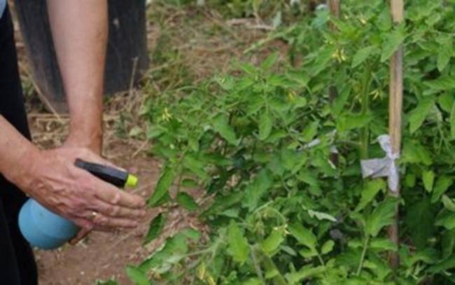 Медный купорос для помидоров - 120 фото и видео обработки посева своими руками