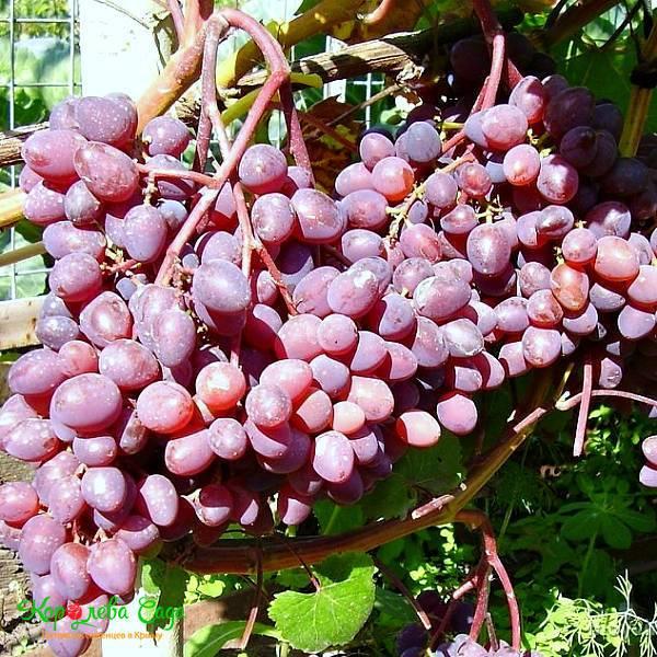 Описание сорта винограда кишмиш «запорожский» с фото и отзывами