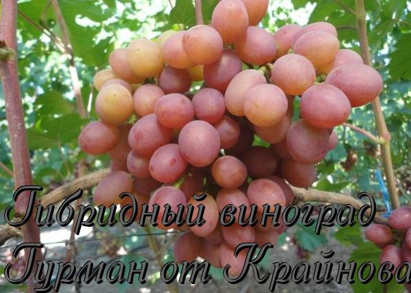 Виноград изюминка, сорт винограда изюминка
