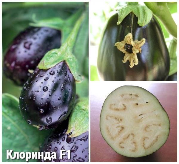Баклажан клоринда: описание растения, особенности агротехники, количество урожая и правильный его сбор.