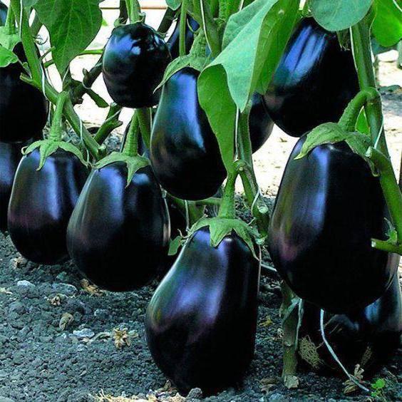 Топ 15 лучших сортов баклажанов по отзывам огородников: самые крупные, вкусные, урожайные, морозоустойчивые, ранние, для подмосковья, сибири