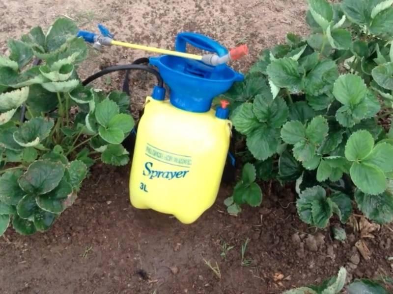 Обработка клубники весной от вредителей и болезней, чем и когда опрыскивать землянику
