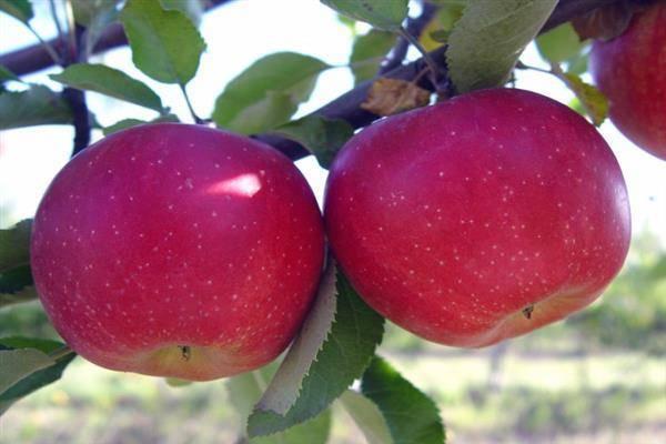 Яблоня слава победителям – особенности ухода, возможные болезни, почему не цветет дерево, аналоги