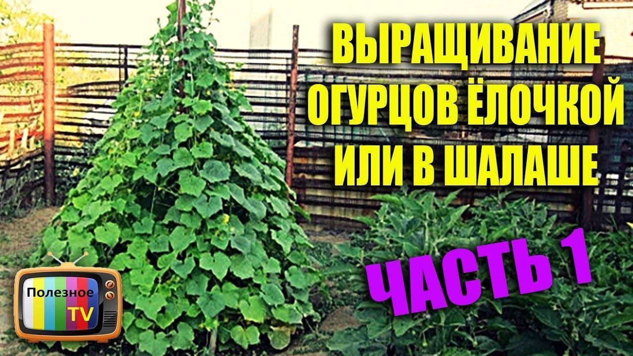 Можно ли сажать вместе огурцы и помидоры, а также как правильно выбрать сорта семян на рассаду, организовать уход за посевами и выращивать рядом эти культуры? русский фермер