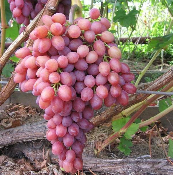 Описание сорта винограда виктор: особенности гибрида, уход за лозой