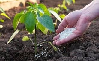 Подкормка перца в открытом грунте: после посадки, во время цветения и плодоношения