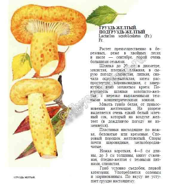 Желтый груздь: особенности и обработка | лесная кладовая