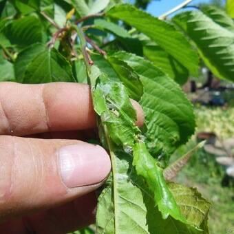 Чем опрыскивать черешню: борьба с вредителями и особенности обработки черешни и вишни (80 фото)