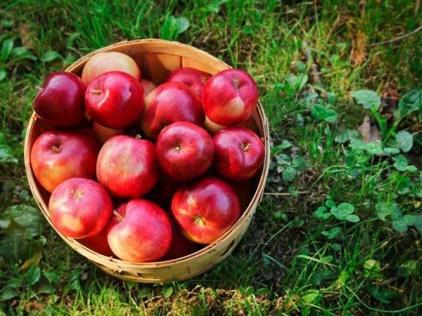 Ред делишес: описание сорта яблони и правила агротехники