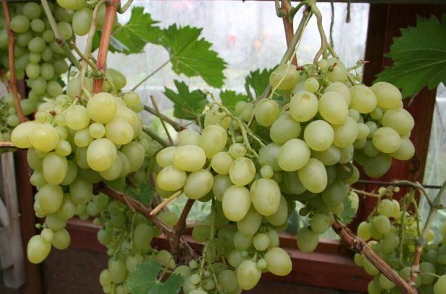 Виноград «настя»: описание и особенности сорта, уход и отзывы с фото