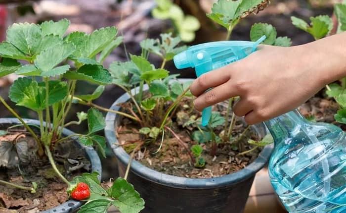 Чем подкормить садовую землянику весной после зимовки