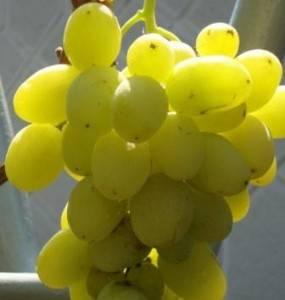 Зарница — виноград