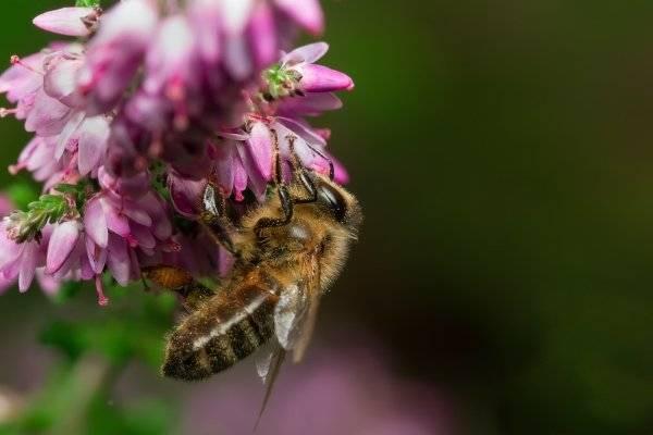 Медоносы высеваемые специально для пчел: травы, цветы, деревья