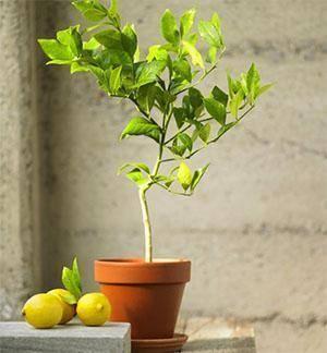 Как правильно прививают лимон в домашних условиях