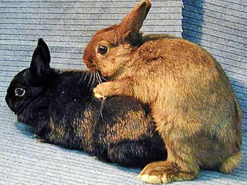 Правила проведения спаривания кроликов в домашних условиях