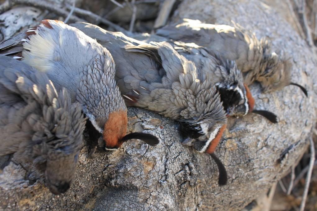 Крымский охотник - охотничий блог - открытие сезона 2020, ай-петри! охота на перепела(добавлено видео)