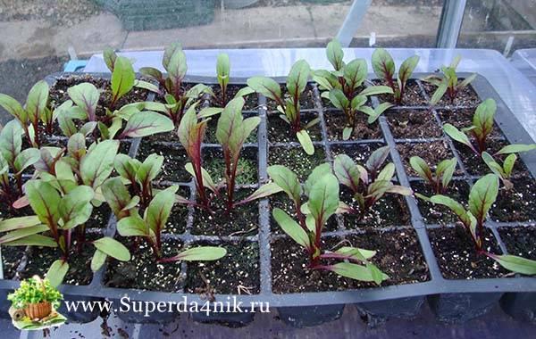 Подготовка семя свеклы к посеву в открытый грунт: как подготовить, обработка