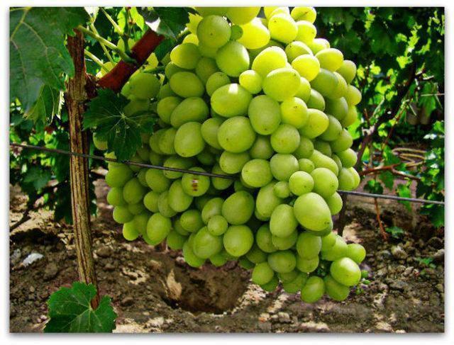 Виноград ланселот, описание и характеристик сорта