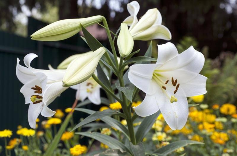 Когда пересаживать лилии – весной, летом или осенью – выбор лучшего момента. ошибки при пересадке – о чем нужно помнить