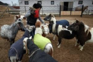 Особенности разведения миниатюрных лошадок