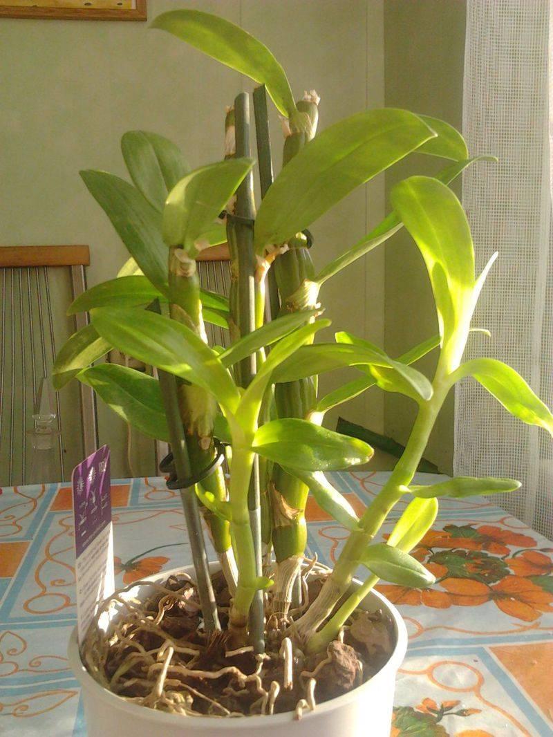 Орхидея дендробиум: уход в домашних условиях, фото, размножение, пересадка