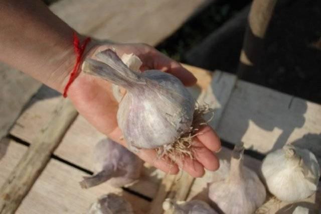 Чеснок комсомолец: описание растения и его выращивание
