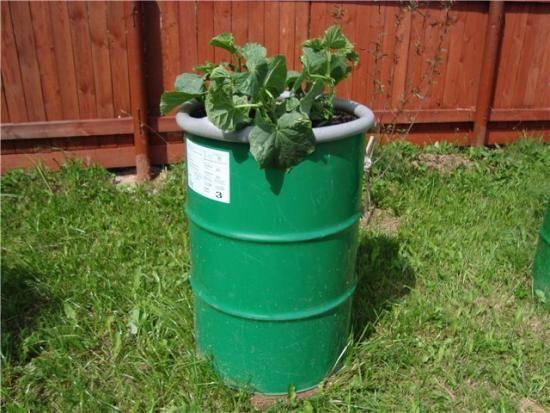 Как вырастить огурцы в бочке на даче - советы садоводов