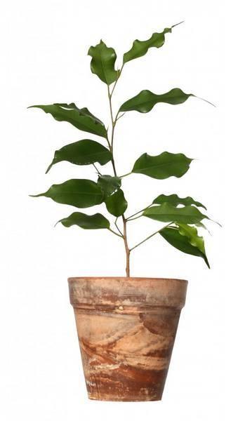 Опадают листья у фикуса бенджамина — возможные причины и их устранение.