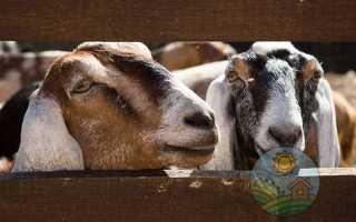 Нубийские козы: описание и рекомендации по разведению