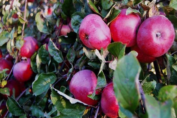 """Жемчужина сада - яблоня """"осенняя радость"""""""