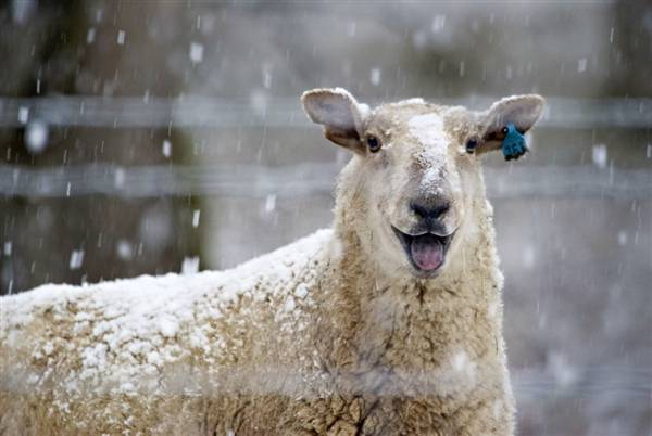Содержание овец в зимний период: чем кормить и как ухаживать?