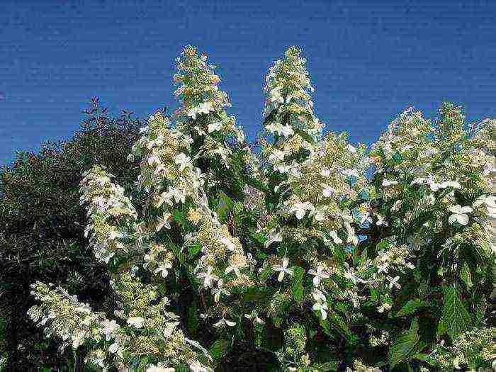 Секреты выращивания садовых гортензий в горшках в саду и дома