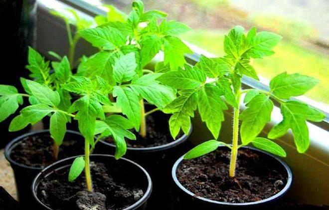 Когда и как пикировать рассаду томатов: сроки, правила и пошаговые инструкции