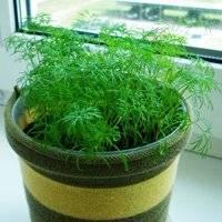 Правила выращивания петрушки из семян на подоконнике
