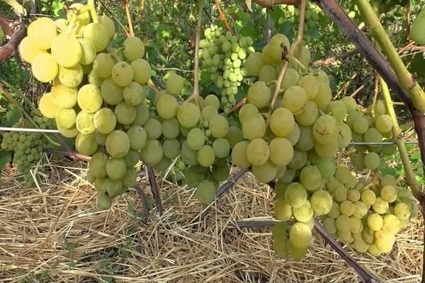 Московский ранний — сорт винограда