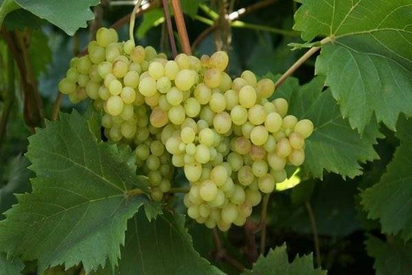 ᐉ сорт винограда московский белый - roza-zanoza.ru