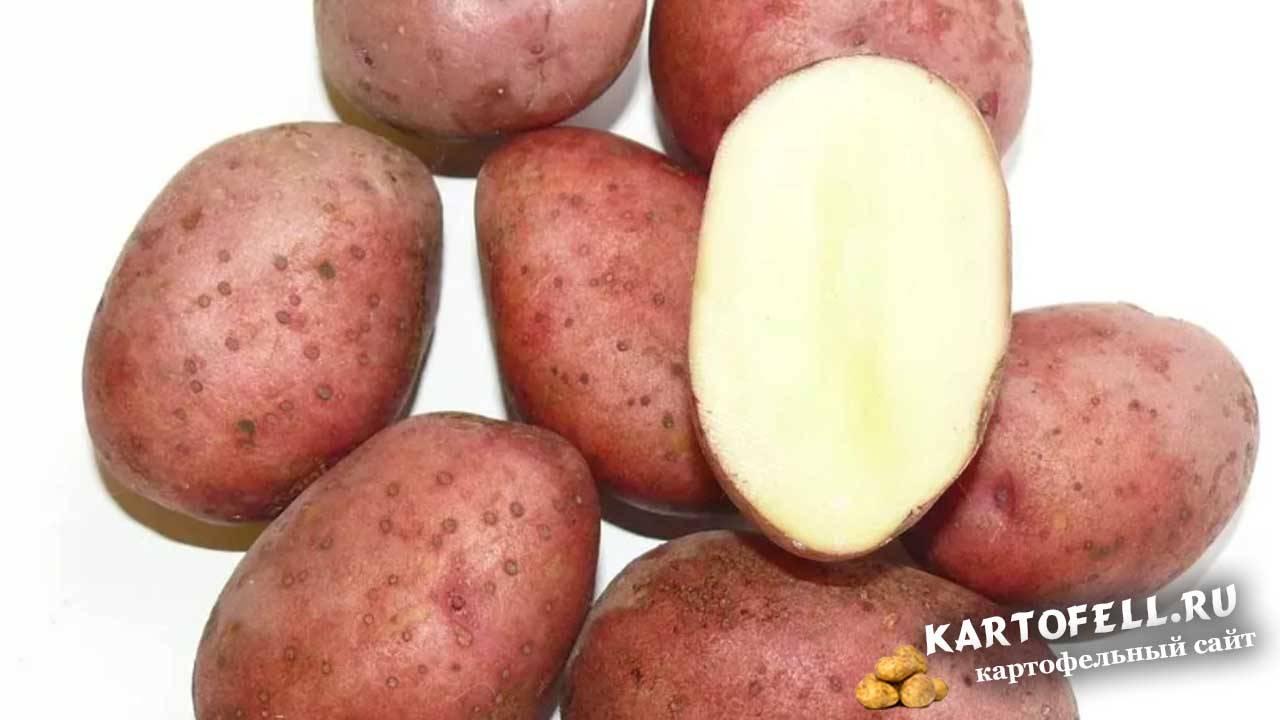 Картофель любава: характеристика сорта, отзывы, вкусовые качества