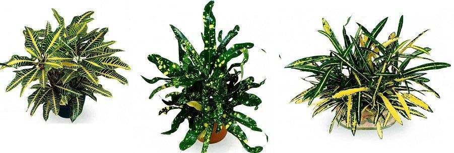 ᐉ комнатные лианы с названиями и фото, вьющиеся домашние цветы - roza-zanoza.ru