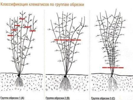 Подготовка клематисов на зиму: как укрывать зимостойкие и другие сорта осенью? как зимует клематис?